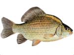 Živa riba